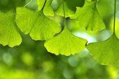 Akıllı Bitki (Ginko Biloba)