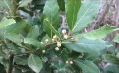 Defne ağacı (defne yemişi) Özellikleri ve Faydaları